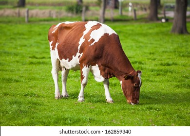 Cow in the field. Cow grazing in fresh pastures