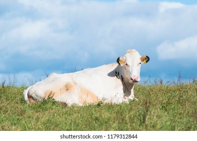Cow in field on its own.