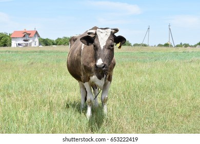 Cow in the field, village.