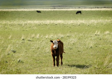 Cow in a filed of green grass