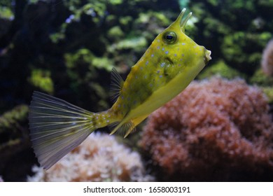 Cow fish poses on coral reef.