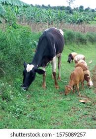 Cow and five sheep feeding