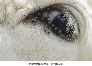 Cow with flies around the eye, close-up cow eye