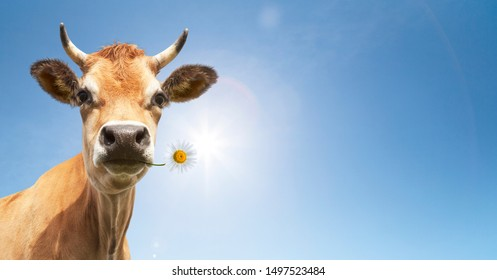 Cow with flower in the mouth