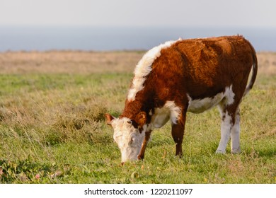 Cow with fluffy fur (plush) grazed in the meadow