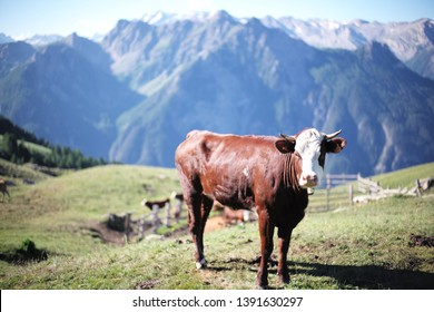 Cow in the French Alps