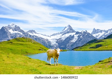Cow in front of beautiful Bachalpsee in the Swiss Alps posing for pictures. Famous mountains Eiger, Jungfrau, and Monch in background. Cow Alps. Switzerland in late summer. Snow-capped mountains.