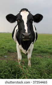 Cow in front of the lens