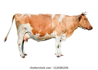 Cow full length. Beautiful young cow isolated on white. Funny red and white spotted cow  portrait close up. Farm animals.