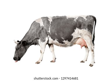 Cow full length isolated on white background. Spotted black and white cow standing in front of white background. Farm animals