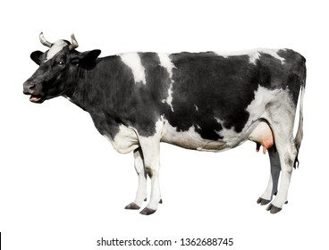 Cow full length isolated on white background. Funny black and white spotted cute cow standing in front of white background. Farm animals