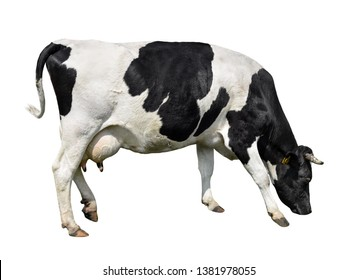 Cow full length isolated on white. Black and white cow, standing full-length in front of white background. Farm animals.