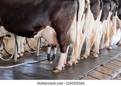 The cow gives plenty of milk
