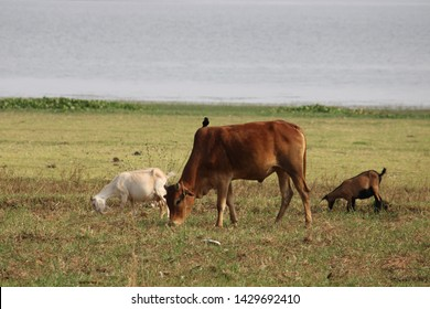 Cow and goats eating grass in grass field
