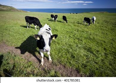 Cow in grassland