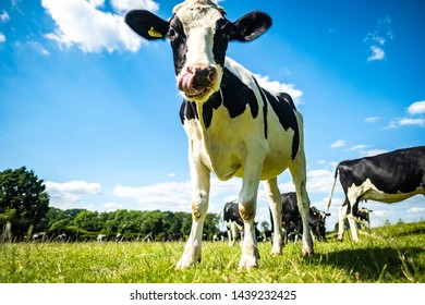 A cow in a grassy field with tongue sticking out
