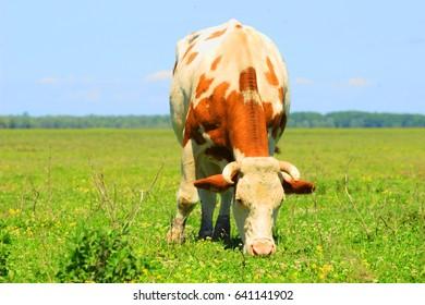 Cow in graze