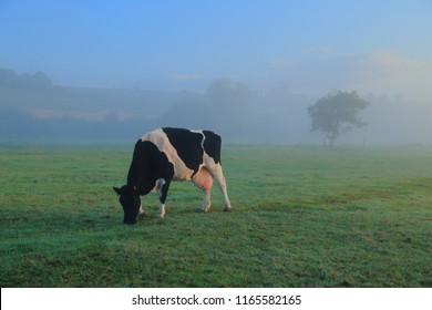 Cow graze on the farmland in East Devon on a misty morning