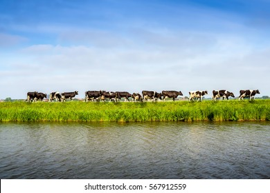 cow graze on pasture by river in summer