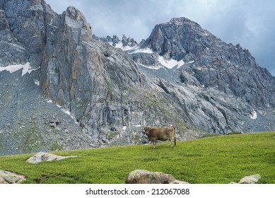 Cow grazed highly in mountains on water meadows
