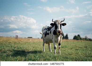cow is grazed on a meadow