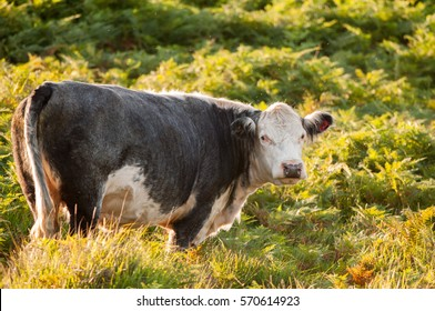 A cow grazes in the New Forest National Park