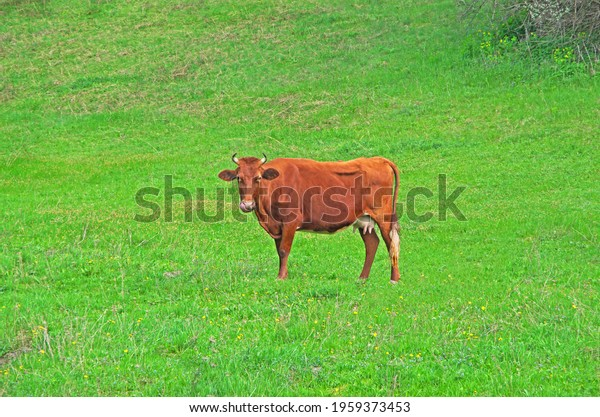 cow-grazes-on-green-meadow-600w-19593734