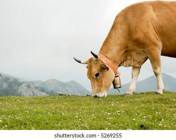 Cow grazing in Asturias, Spain.