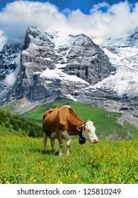 Cow Grazing by the Lauberhorn, Switzerland
