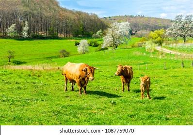 Cow grazing with cow calfs on pasture farm landscape. Cows graze