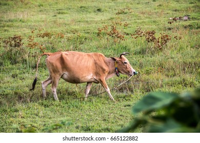 Cow grazing in the field.