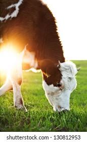 Cow grazing in fresh pastures