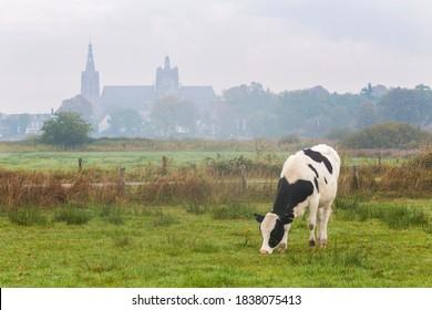 Cow grazing in grassland of Bossche Broek. St John's Cathedral of 's-Hertogenbosch in background fog.