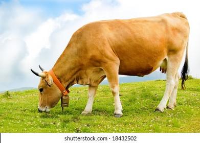 Cow grazing in a green field.
