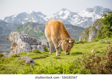 Cow grazing in the lakes of Covadonga, Asturias, Spain