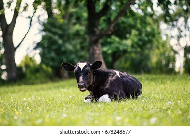 A cow is grazing in a meadow. Dairy cow. Rustic cow.