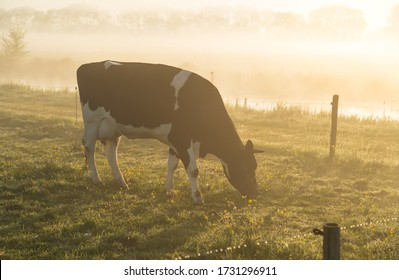 A cow grazing in a meadow on a foggy, spring morning.