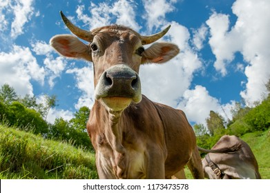 cow grazing in the mountain pasture