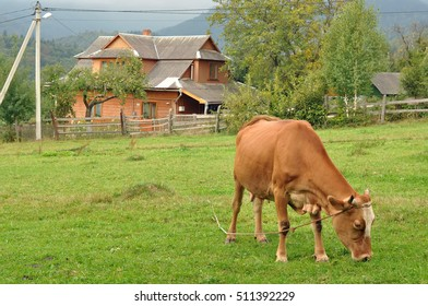 cow grazing in the mountain village