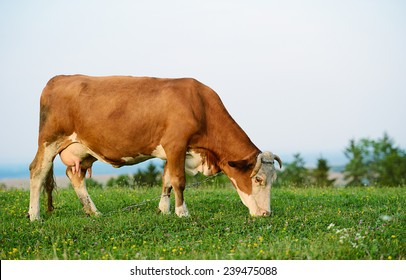 Cow is grazing in the mountains