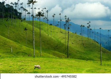 Cow grazing next to wax palm trees in Cocora Valley near Salento, Colombia