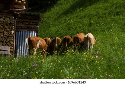 Cow grazing on a bright sunny day
