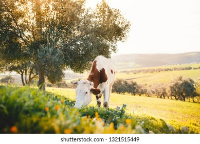 Cow grazing on a fresh grass. Landscape with grass field, olive trees, animal and beautiful sunset. Moroccan nature.
