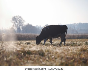 Cow grazing on a frozen field. The grass is covered with frost. Cold snap, change of weather, onset of winter