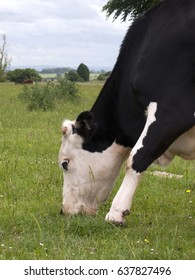 Cow grazing on grass close up