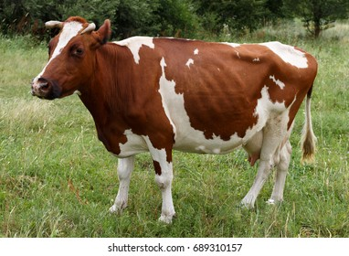 Cow grazing on the green grass