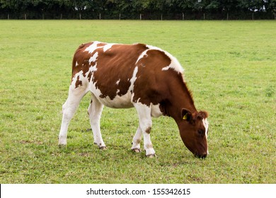 Cow grazing on  meadow