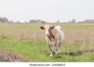 cow grazing on a meadow in summer
