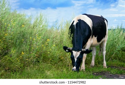 cow grazing in the pasture
