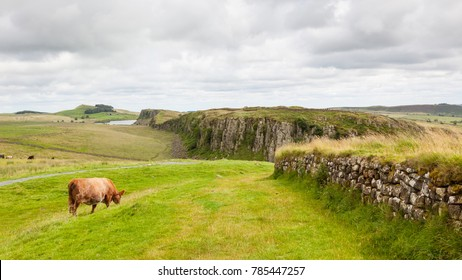 A cow grazing in the verdant Northumberland countryside of England with a section of Hadrian's Wall visible.